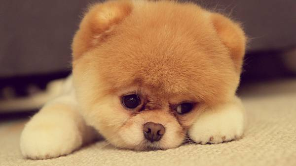 wallpaper-pomeranian-photo-01 (1)