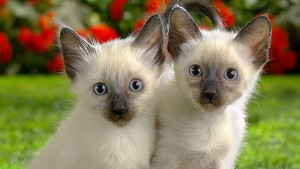 wallpaper-siamese-photo-01