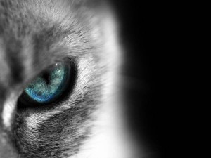 wallpaper-siamese-photo-08