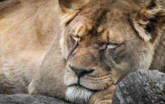 lion-721128_1920